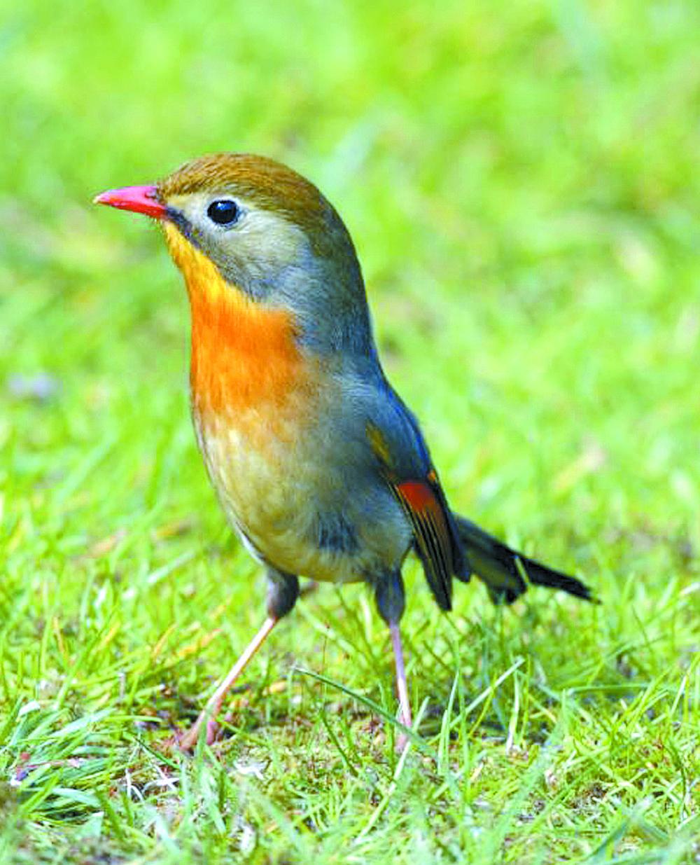 红嘴相思鸟