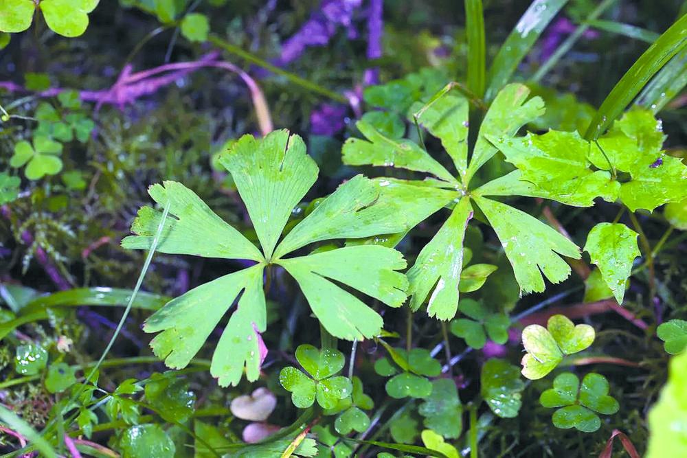 国家一级重点保护植物独叶草